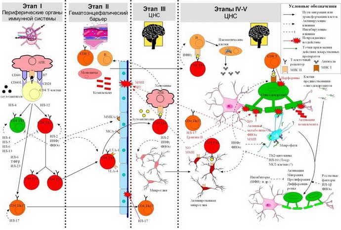 Стадии развития рассеянного склероза