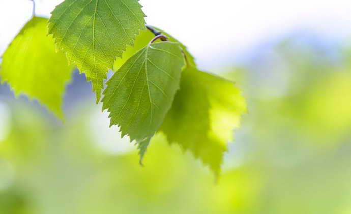 Березовые листья для лечения грыжи позвоночника