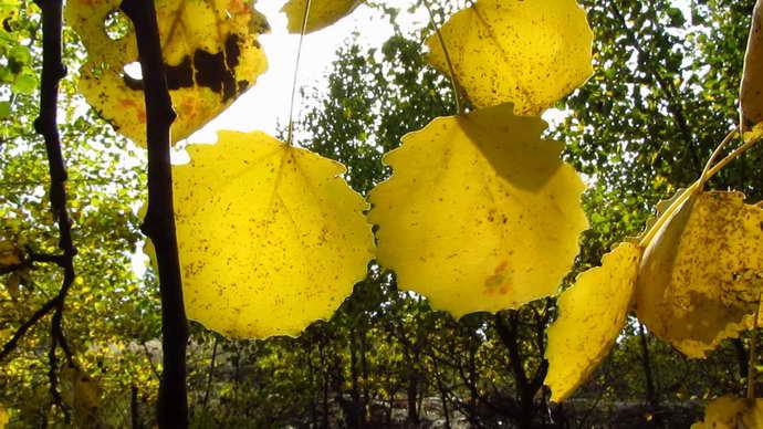 Осиновые листья для седалищного нерва